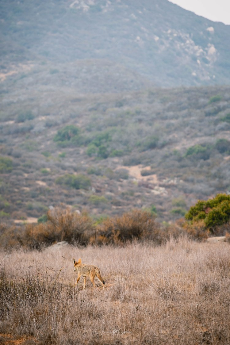 coyote in the hills watermark