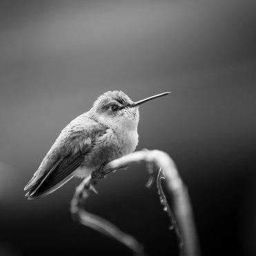 hummingbird proofs-2