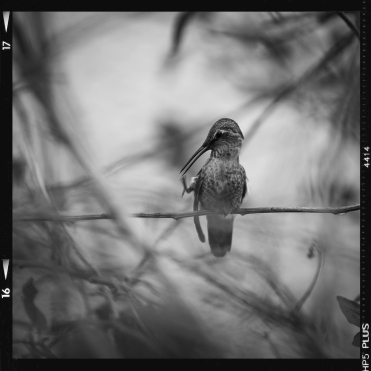 hummingbird film